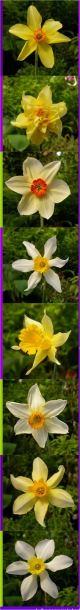 Traditional daffodils
